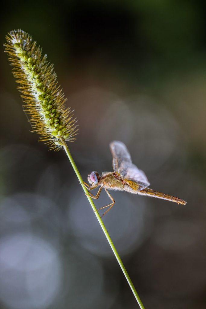 candida libellula