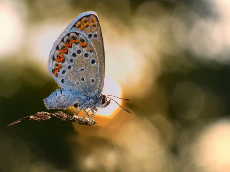 farfalla incinta