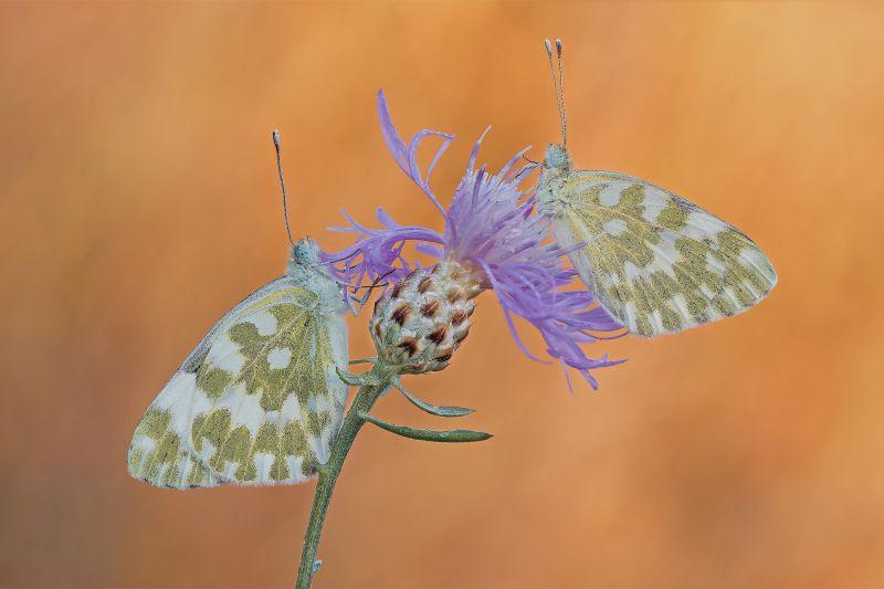 farfalle tra le luci dell'alba