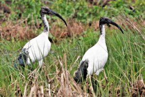 ibis sacri a massaciuccoli