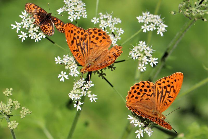 tris di farfalle
