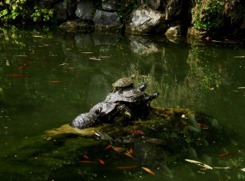 am(masso) di tartarughe