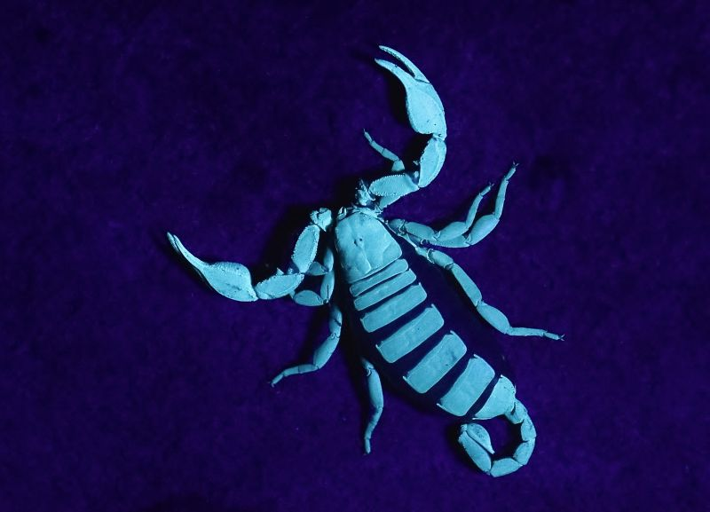 lo scorpione è fosforescente !