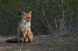 la volpe si gode gli ultimi raggi del sole della giornata