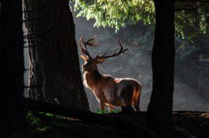 il re del bosco