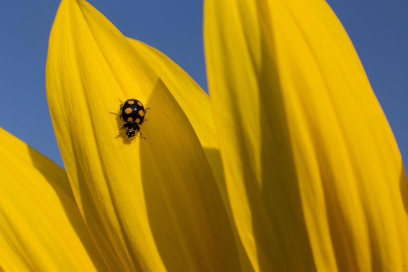 Yellow ladybug 1