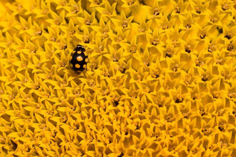 Yellow ladybug 2