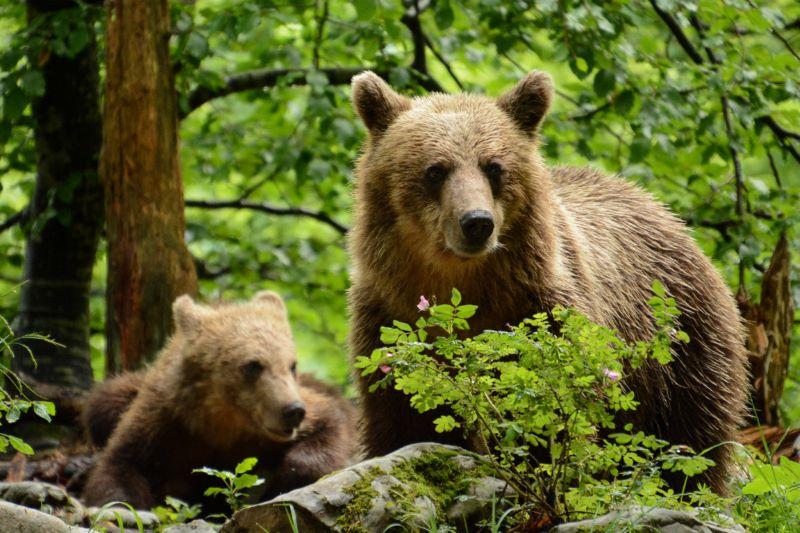 orso bruno con il proprio cucciolo