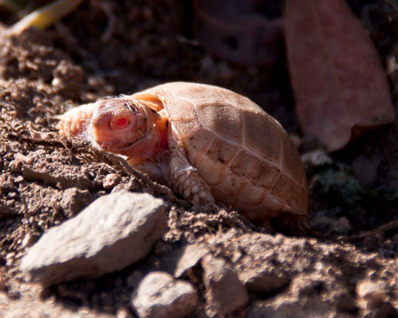 Tartaruga albina sarda nata da poco
