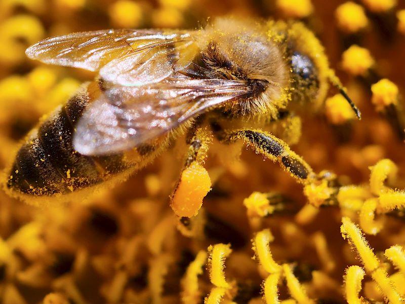 Polline di Girasole