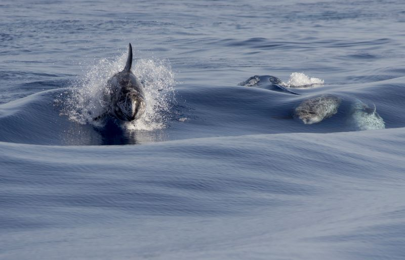 Grampi al Santuario dei cetacei di Genova