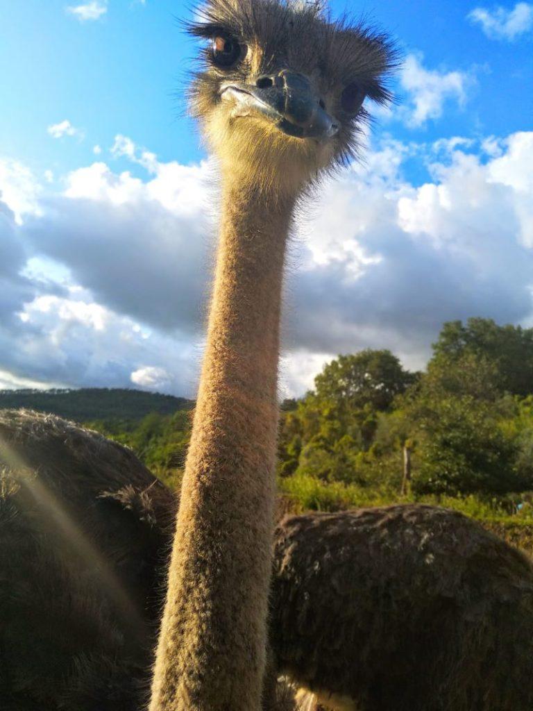 Ritratto di uno struzzo in campagna