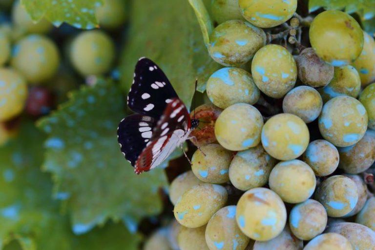 Fotografia di farfalla