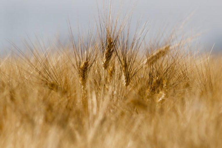Spighe di grano protagoniste