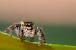 Ragno saltatore curioso
