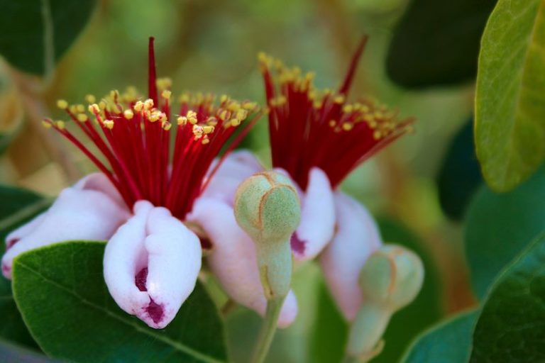 il fiore della Feijoa sellowiana