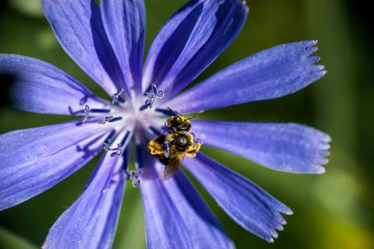 fiore di Indivia o endivia
