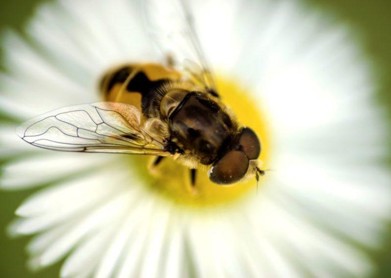 ape su fiore di margherita