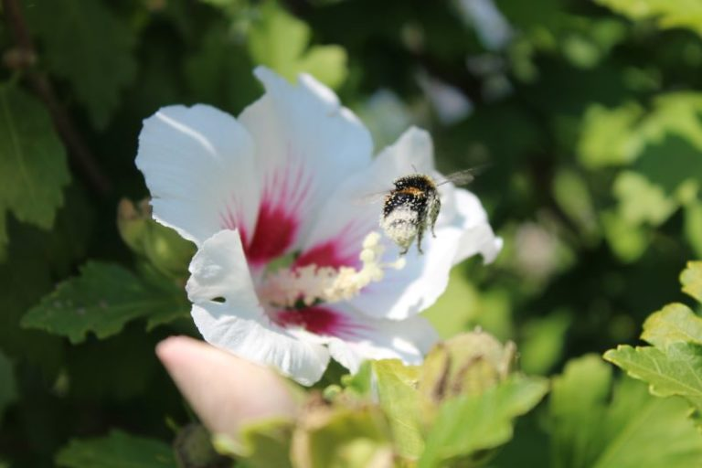 Un'ape che si è ricoperta a sua volta di polline