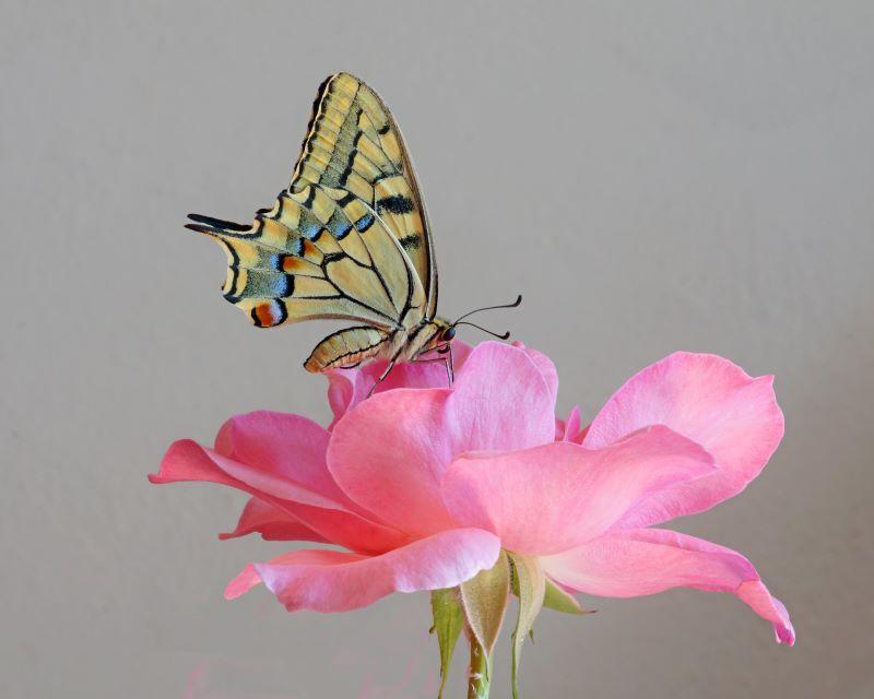 Macaone su rosa