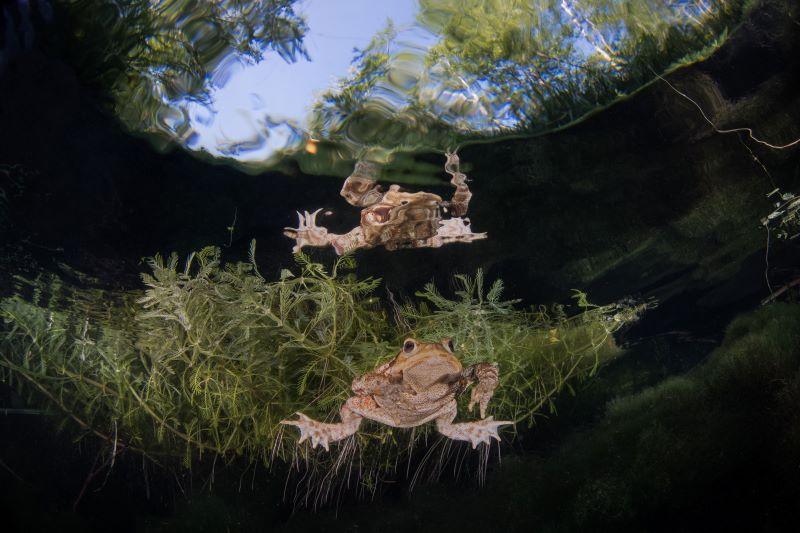 giovane esemplare di rospo maschio in attesa di riproduzione