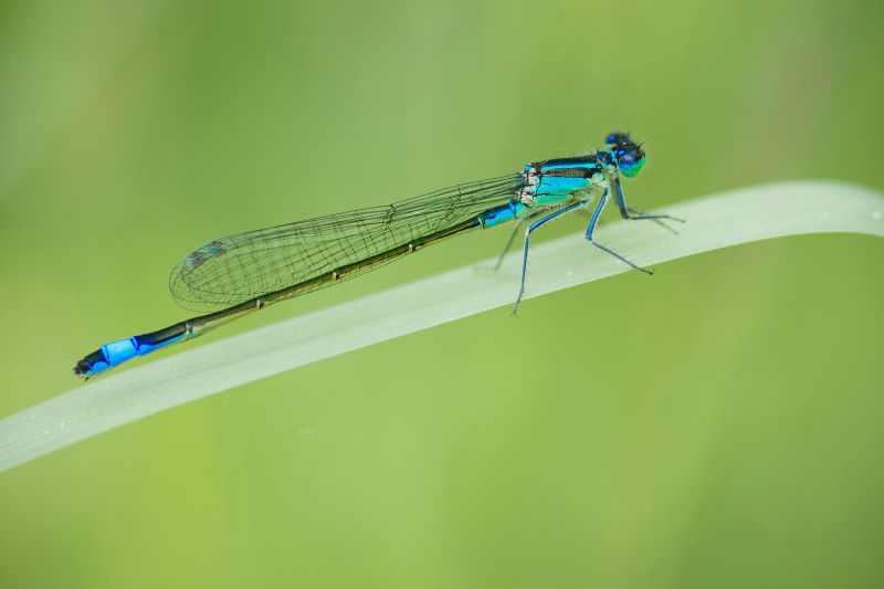 giovanile di libellula maschio Coenagrion mercuriale
