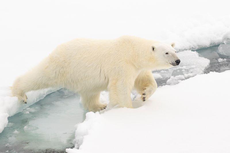 orso polare femmina al largo delle isole Svalbard