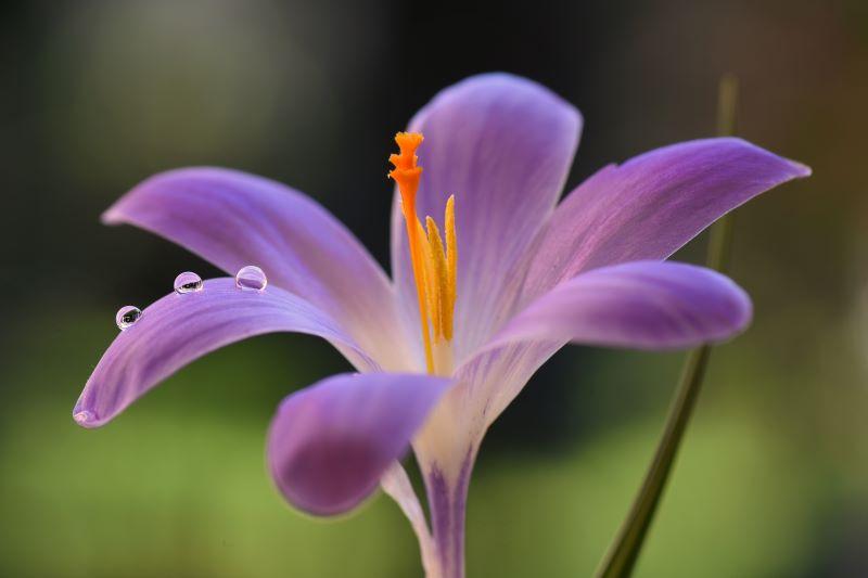 un primissimo piano di fiore Crocus con piccole gocce di rugiada