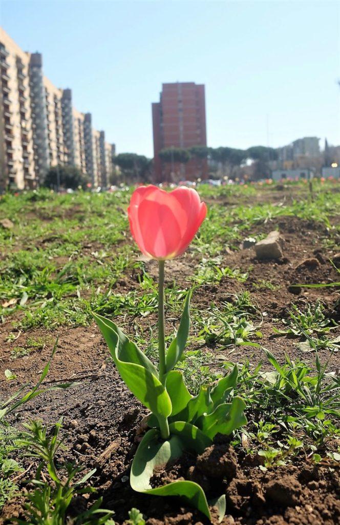 La bellezza di un tulipano tra i sassi e palazzoni di periferia