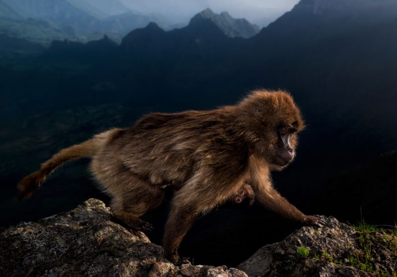 Gelada monkey endemicanelle Semien Mountains