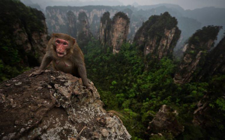 scimmia tipica del Zhangjiajie (Cina)