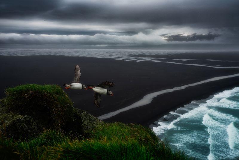 due puffins si gettano sul precipizio per andare pescare (Islanda)