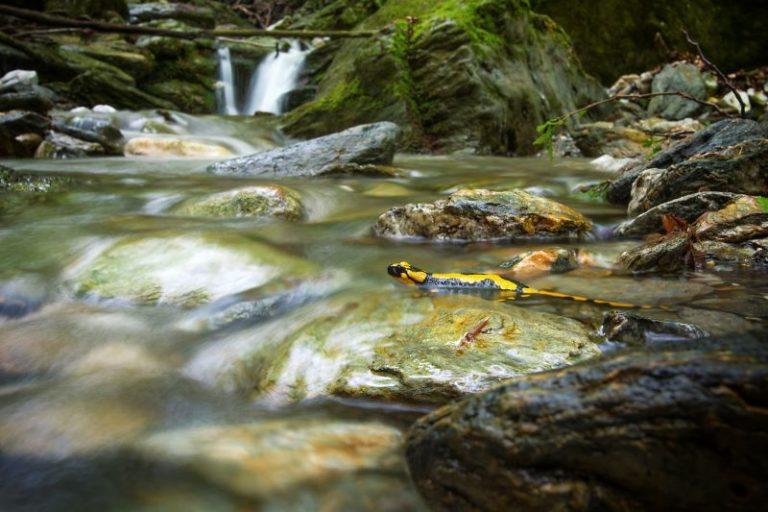 salamandra pezzata sulle Apli Apuane