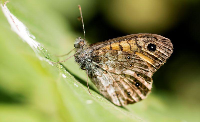 Farfalla NInfa Minore in posa