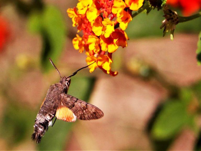 la falena colibrì che non si ferma mai