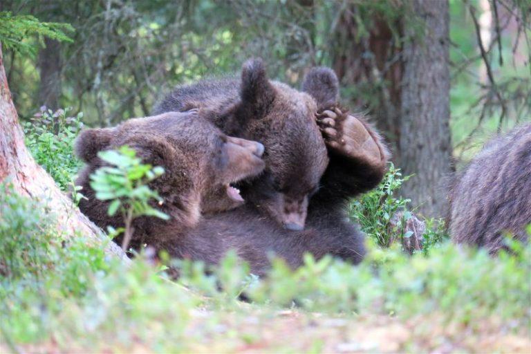 Cuccioli di orso che giocano