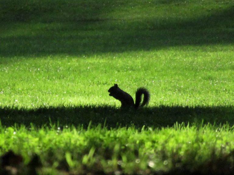 la siluette di uno scoiattolo