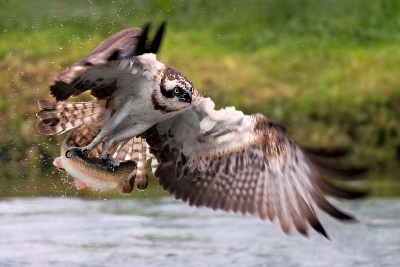 falco pescatore con preda