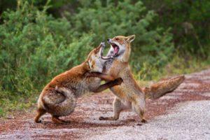 volpi in combattimento