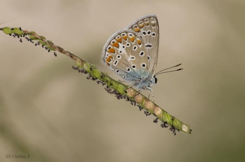 polyommatus icaro