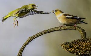 lotta per il cibo fra un verdone ed un frosone