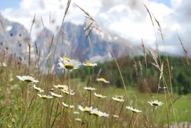 primavera alpina