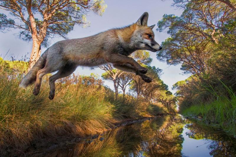 volpe in salto