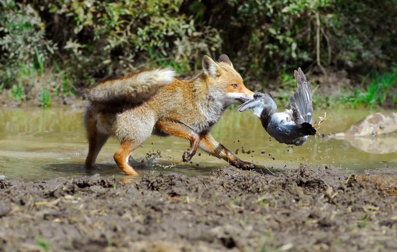 volpe in caccia