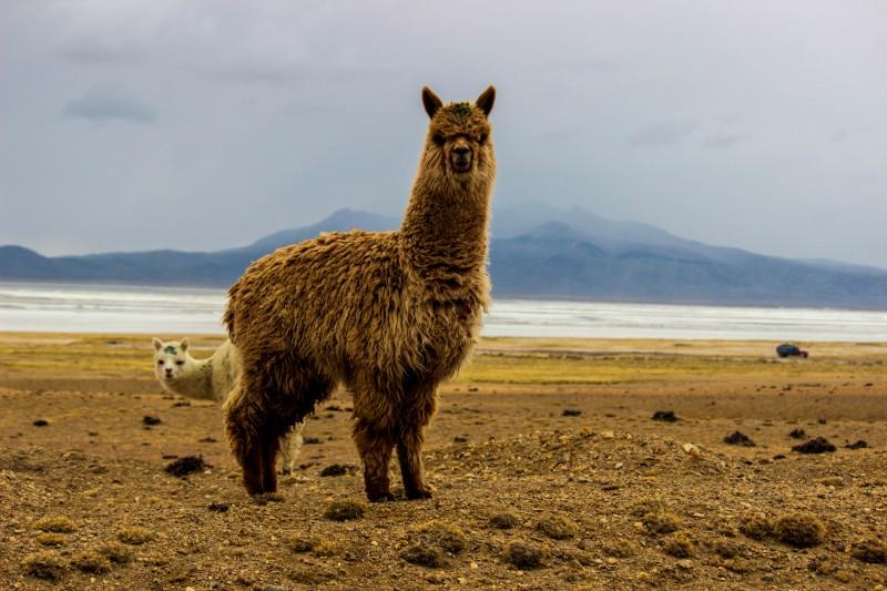 alpaca in arequipa