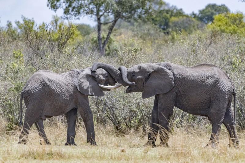 elefanti intrecciati