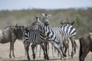 lotta tra zebre
