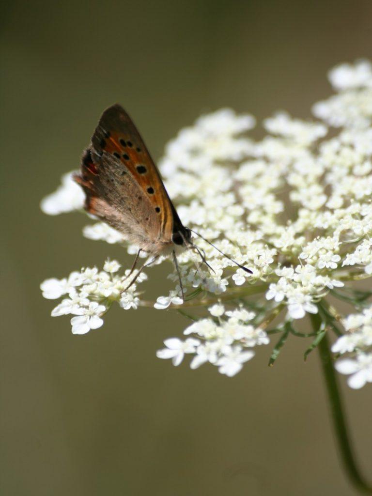 la danza della farfalla