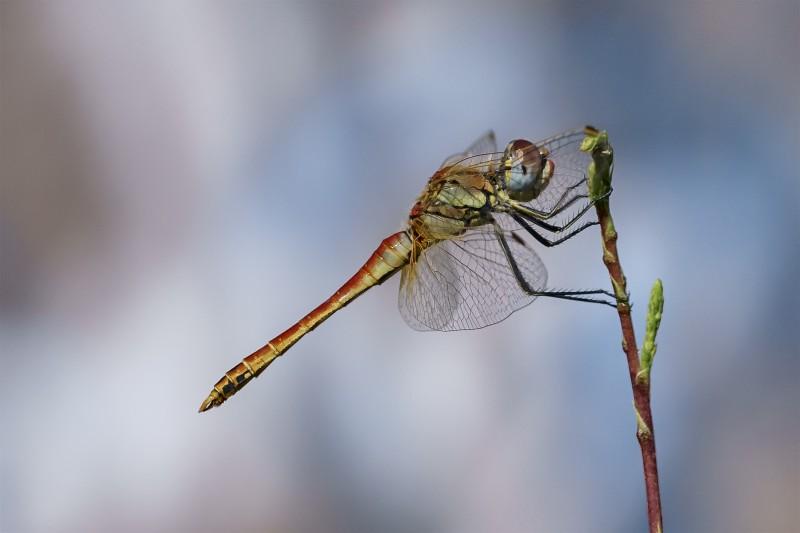 libellula n.1
