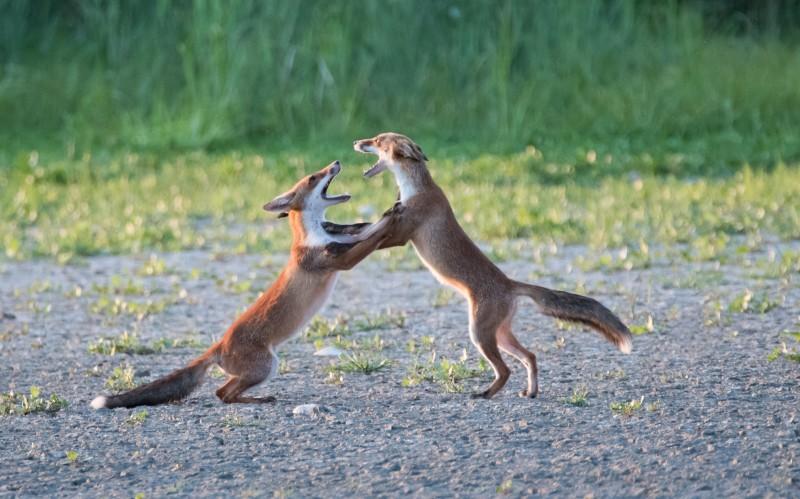 volpi che giocano
